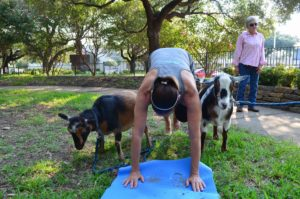Photo: JCC Goat Yoga will be back at the JCC on Sept. 24